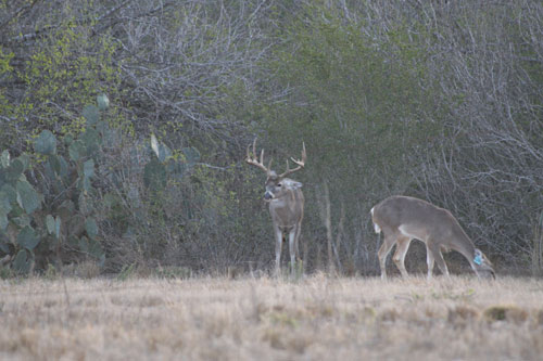 South Texas Brush Country Deer